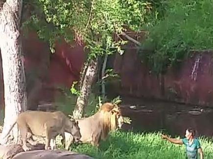 शराबी ने बाड़े  में कूद शेरों को ललकारा , बाल-बाल बचा