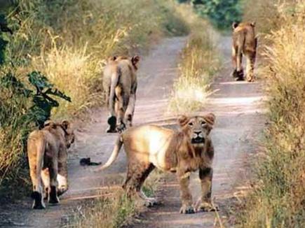 गीर के 3 शेरों को आजीवन  कारावास