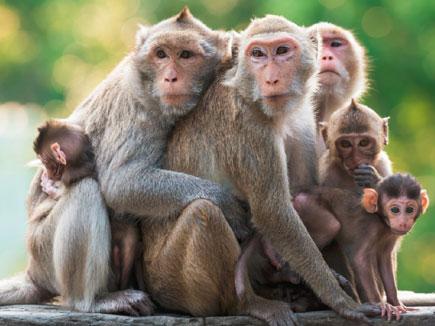 बंदरों के आतंक से परेशान महिला ने एसिड पीकर दी जान