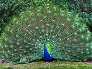 the national bird peacock essays Peacock is the national bird of india it is the most beautiful bird on this earth  peacock is kartal escort tags 26 january animal apj abdul.