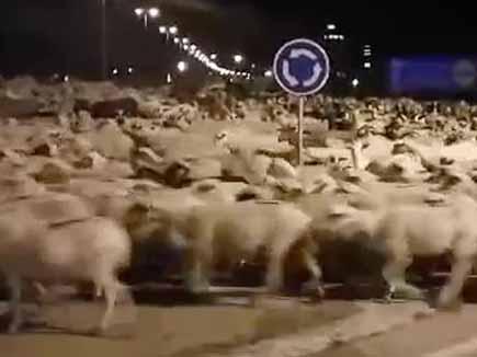 सैकड़ों भेड़ों ने किया शहर पर हमला, पुलिस की हुई फजीहत