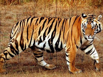 tiger balaghat 10 12 2017