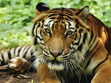 tiger demo 07 12 2017