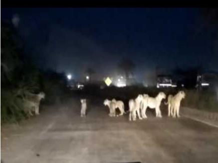गुजरात में 12 शेरों से घिरी एंबुलेंस में महिला ने बच्चे को दिया जन्म