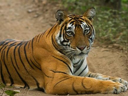 बांधवगढ़ में बाघिन का शिकार