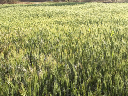 wheat crop 2017226 105137 26 02 2017