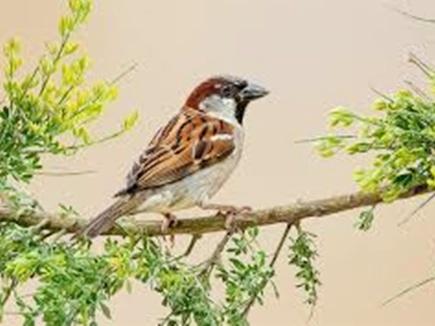 world sparrow day naidunia 20 03 2017