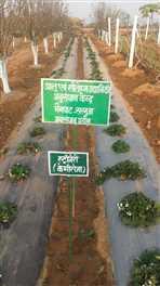 धान की बेकार पड़ी मेड़ों पर स्ट्राबेरी की खेती