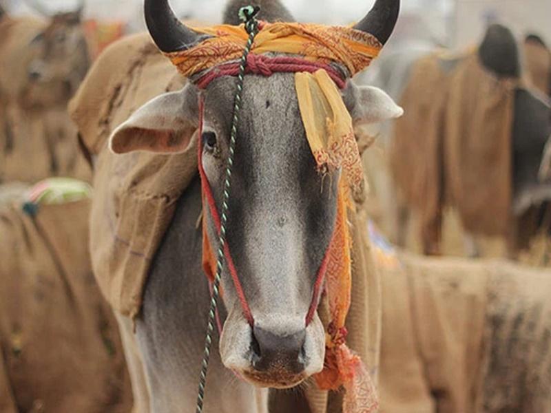 अलवर में गो तस्करों ने की पुलिस पर फायरिंग, 31 गायें छोड़कर हुए फरार