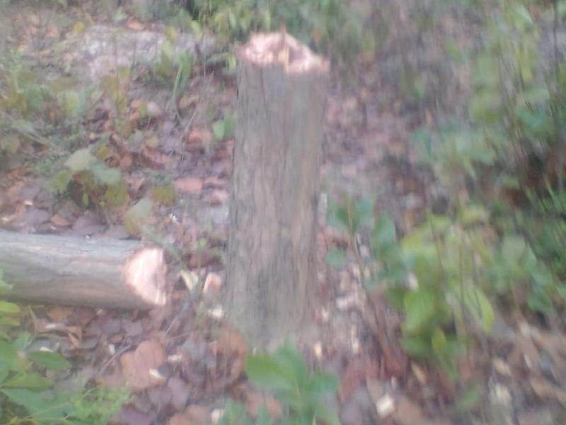 Chhattisgarh : अंबिकापुर क्षेत्र के जंगल में तस्कर बेखौफ काट रहे हैं पेड़, वन विभाग को खबर नहीं
