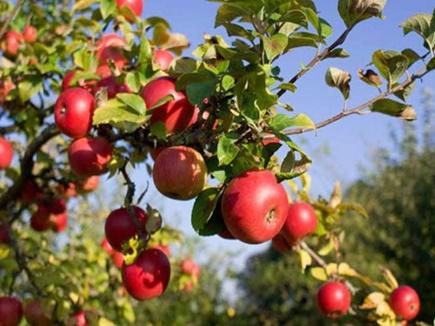 हिमपात से कश्मीर में 15 लाख सेब के पेड़ों को नुकसान