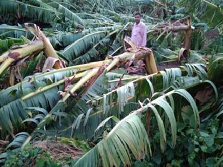 बुरहानपुर : आंधी से कई गांवों में केले की फसल हुई तबाह