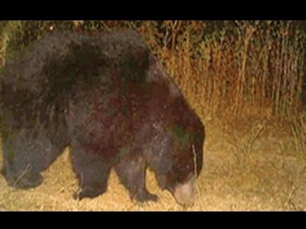 गणना की ट्रायल के दौरान ही दिखा भालू, अब ट्रैप कैमरों से होगी जानवरों की गणना