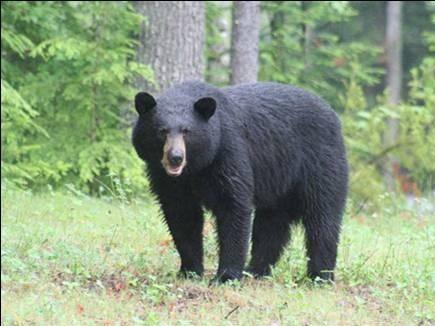 भालू के चेहरे पर लपेट दिया गमछा, ग्रामीण ने होशियारी से बचाई अपनी जान