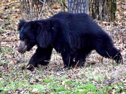 जंगली भालू से भिड़े पालतू कुत्ते, ऐसे बचाई वृद्ध मालकिन की जान