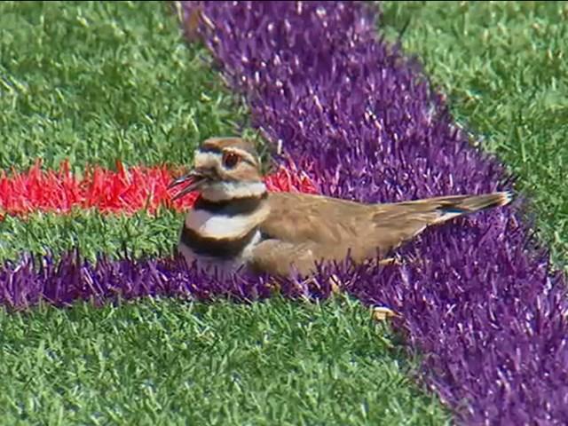 चिड़िया की वजह से बंद हुआ फुटबॉल ग्राउंड, वजह जान रह जाएंगे हैरान