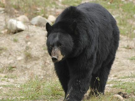 black bear 3792484 19 04 2017