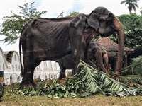 70 साल के इस हाथी की तस्वीर हो रही वायरल, श्रीलंका में हुआ कुछ ऐसा जिसका हो रहा विरोध