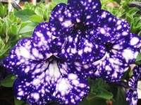 आकाशगंगा को देखने का मन है तो इन फूलों को निहारिये