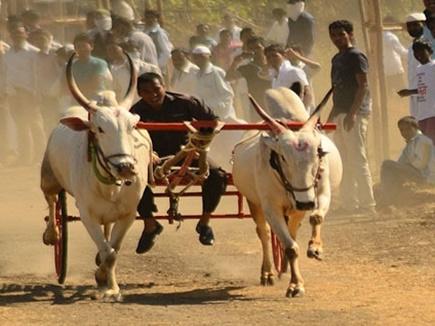 बॉम्बे हाईकोर्ट ने महाराष्ट्र में बैलगाड़ी दौड़ पर लगाई रोक