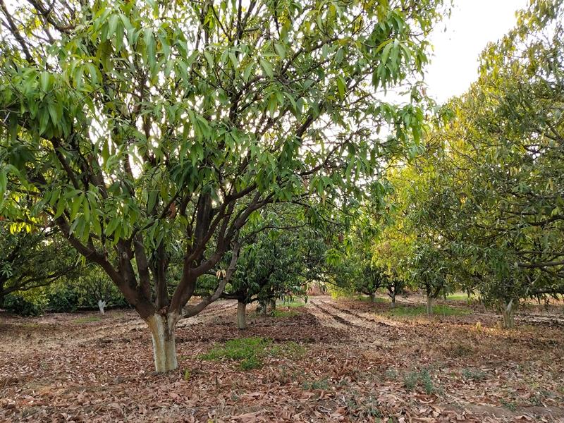 World Environment Day 2019 : बुरहानपुर में 750 फलदार पेड़ों की परवरिश के साथ जरूरतमंदों का सहारा बना वृक्ष मंदिर