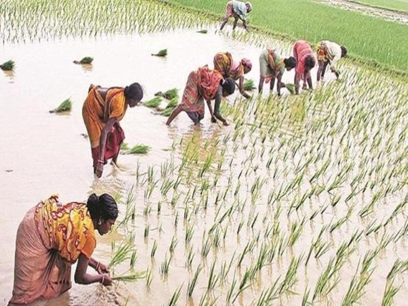 भूपेश सरकार ने किसानों को दिया झटका, बीज उत्पादकों को कम कीमत पर बेचना पड़ेगी धान