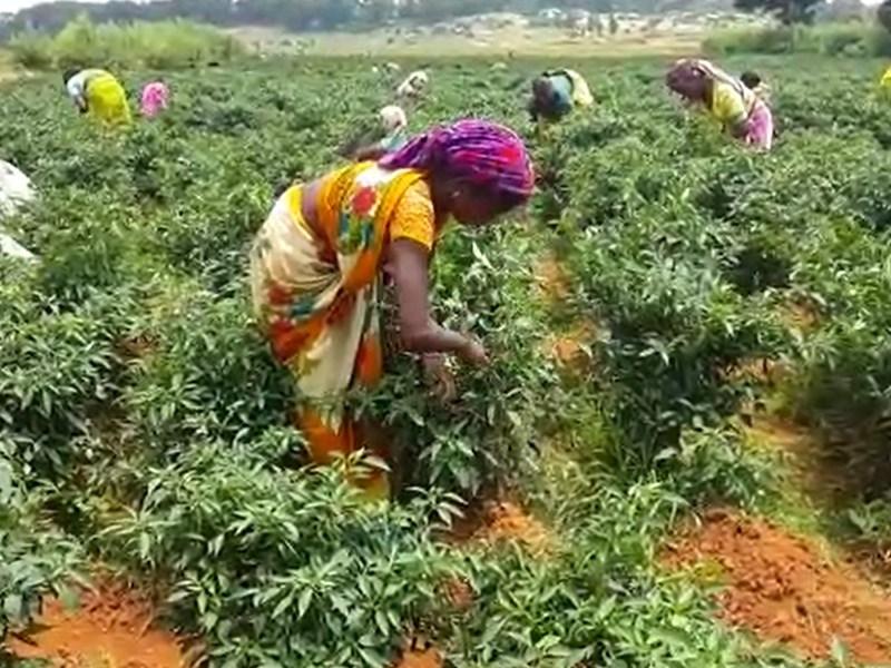 जशपुरिया मिर्च : झन्नाट ऐसी कि मुंहमांगी कीमत दे रहे व्यापारी, देखें VIDEO