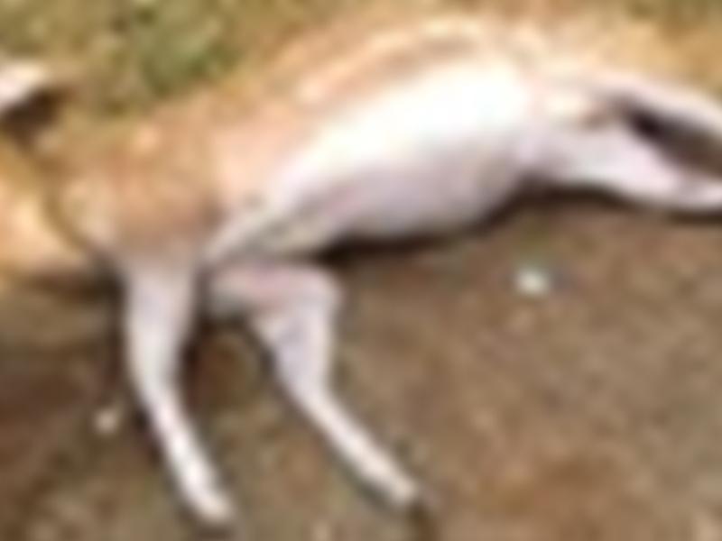 कुत्तों के हमले में मारे गए चीतल का किया ग्रामीणों ने अंतिम संस्कार