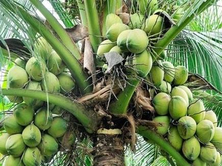 नारियल का एक पेड़ एक वर्ष में देता है 50 हजार रुपए, ऐसे बढ़ेगी हरित अर्थव्यवस्था