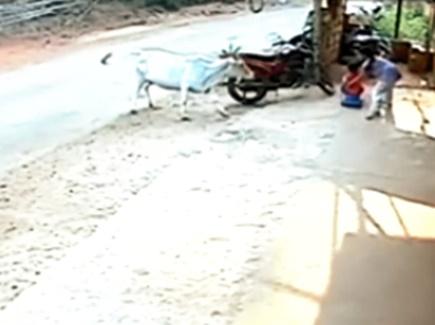 छोटे भाई पर गाय कर रही थी हमला, 8 साल की बच्ची ने ऐसे बचाया