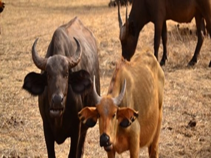 cow and buffalo 2018313 145856 13 03 2018