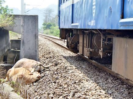 नरसिंहपुर में ट्रेन से कटकर 11 गायों की मौत
