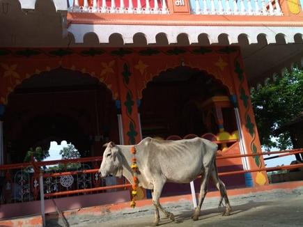 शाजापुर जिले में गाय ने की मंदिर और यज्ञशाला की परिक्रमा, देखने उमड़े लोग