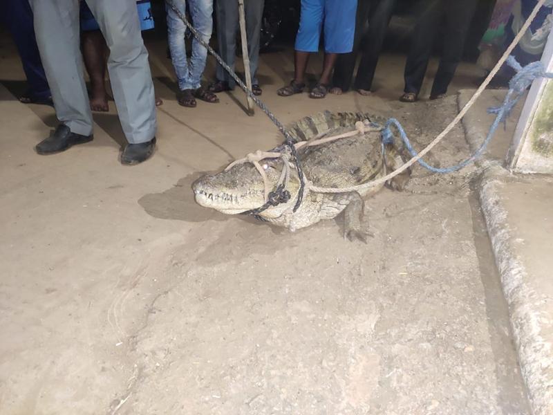 Neemuch News : सड़क पर घूम रहा था मगरमच्छ, ग्रामीणों ने पकड़कर बिजली के खंभे से बांधा, देखें वीडियो