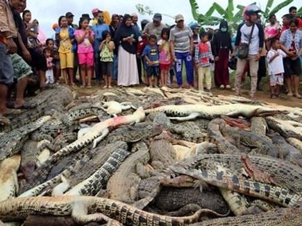 गुस्साई भीड़ ने मार डाले 300 मगरमच्छ