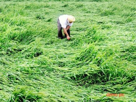 बेमौसम बारिश से रबी फसलों को नुकसान, 20 हजार किसान प्रभावित