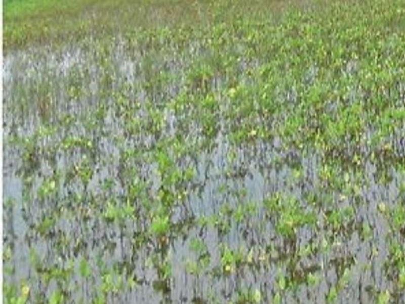 Chhattisgarh : कीट प्रकोप और बारिश से बढ़ी किसानों की मुसीबत