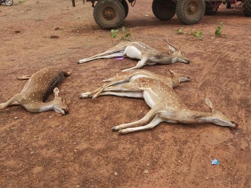 Dhamtari : मोहलाई के जंगल में जहरीला पानी पीने से 12 हिरणों की मौत