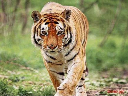 कटनी जिले में तार में फंसा मिला बाघ का शव, पीएम रिपोर्ट का इंतजार