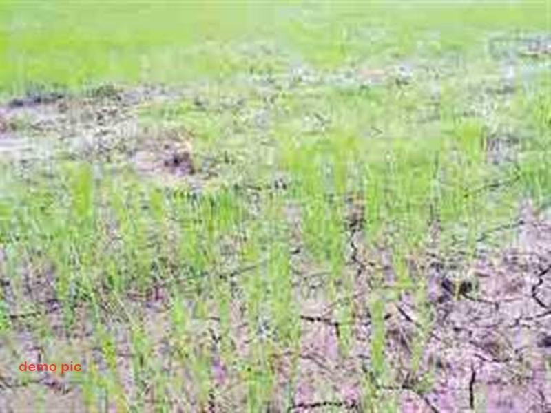 Dhamtari News : धान की खेती करने वाले किसान मायूस, नहीं हो रही बारिश