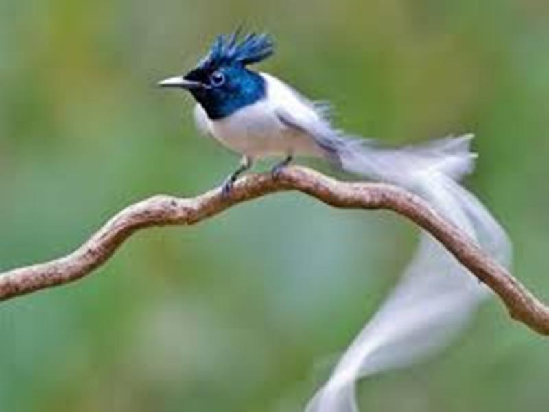 मध्यप्रदेश के राज्य पक्षी दूधराज का सर्वे निजी हाथों में सौंपने पर केंद्र ने लगाई रोक