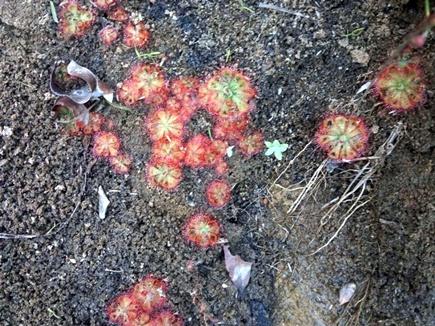 सतपुड़ा की वादियों में मौजूद है मांसाहारी पौधा ' ड्रोसेरा '