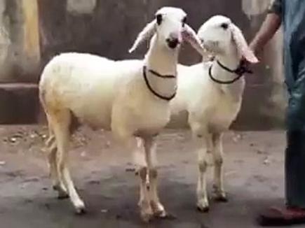 Muslim Munch of RSS appeals community to avoid qurbani on bakra Eid
