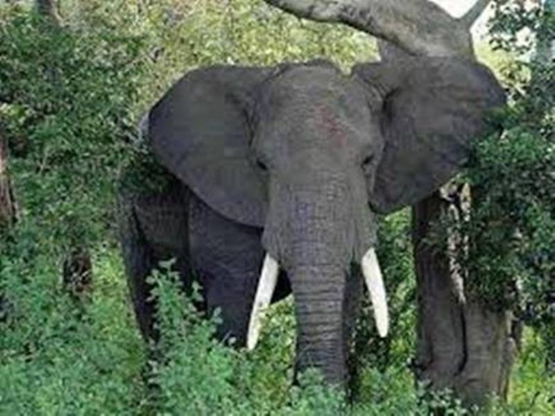 Satpura Tiger Reserve में हाथी ने किया कर्मचारी पर हमला, भोपाल रेफर