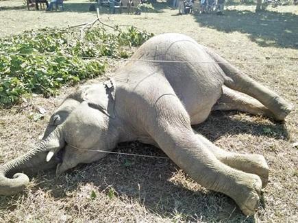 रायगढ़ : खेत में करंट लगने से जंगली हाथी की मौत