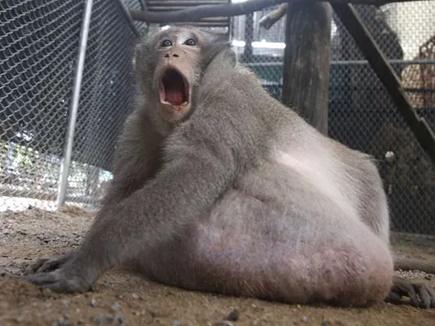 fat monkey 20 05 2017