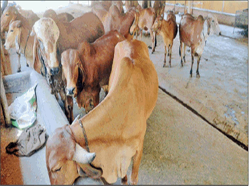 Madhya Pradesh : गिर गायों की नस्ल बचाने यहां बनी पहली गिर गौशाला