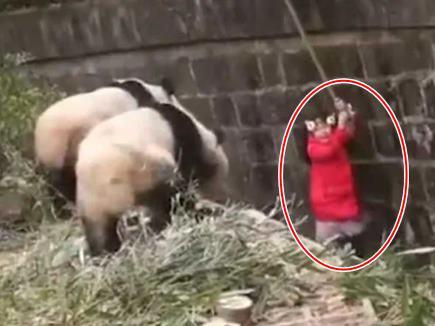 पांडा के बाड़े में गिरी 8 साल की बच्ची, खतरनाक वीडियो खूब हो रहा है Viral