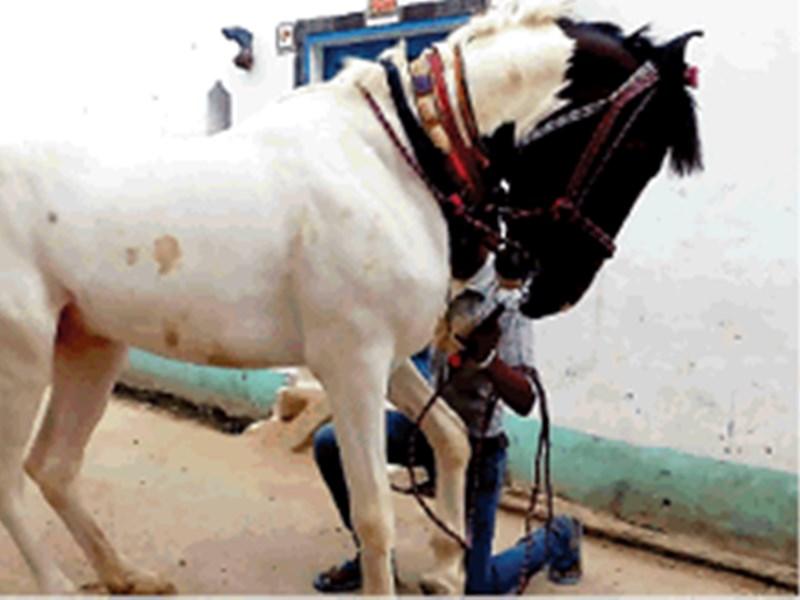 Glanders Disease : ग्लैंडर का खौफ, घोड़ी चढ़ने से बिदक रहे दूल्हे राजा