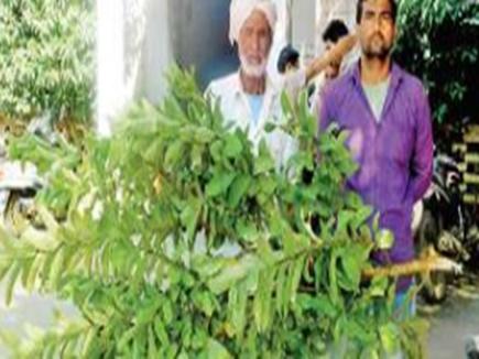 अमरूद के पेड़ काटने पर दर्ज हुआ केस, बड़ा दिलचस्प है मामला